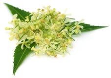 Foglie e fiore medicinali del neem Fotografie Stock Libere da Diritti