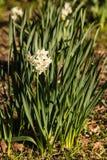 Foglie e fiori del narciso Immagine Stock