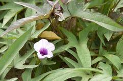 Foglie e fiori della patata dolce Fotografia Stock