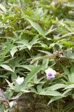 Foglie e fiori della patata dolce Immagini Stock Libere da Diritti