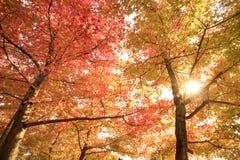 Foglie e foglie verdi di rosso Immagine Stock