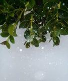 Foglie e fondo del tipo di neve Fotografia Stock