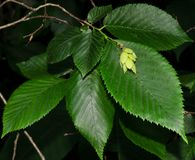 Foglie e frutta dell'albero del carpino di luppolo Fotografia Stock Libera da Diritti