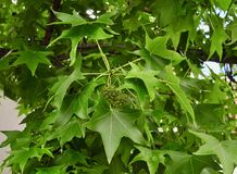 Foglie e frutta dell'albero di sweetgum Immagini Stock