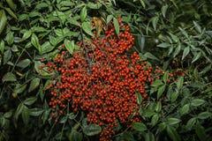 Foglie e frutti rossi di Aucuba Japonica Fotografie Stock