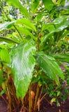 Foglie e pianta del cardamomo - elettaria cardamomum Maton - Malabar Elaichi - piantagione della spezia nel Kerala, India fotografie stock libere da diritti