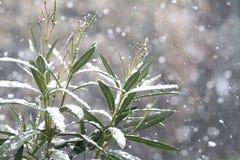 Foglie e rami dell'alloro sotto neve Immagine Stock Libera da Diritti