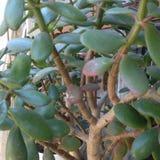 Foglie e rami della giada Albero Fotografia Stock Libera da Diritti