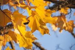 Foglie e rami gialli dell'acero riccio al sole con cielo blu Immagini Stock Libere da Diritti