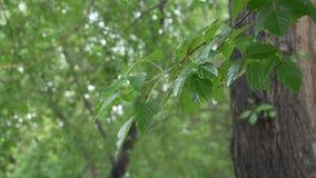 Foglie e ramo bagnati dell'albero dopo la pioggia di estate nel parco della città Gocce di pioggia sul fogliame dell'albero in te archivi video
