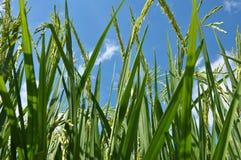 Foglie e risaia del riso Fotografia Stock Libera da Diritti