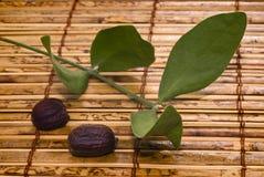Foglie e semi del jojoba (Simmondsia chinensis) Fotografie Stock