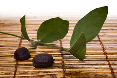Foglie e semi del jojoba (Simmondsia chinensis) Immagine Stock