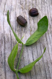 Foglie e semi del jojoba (Simmondsia chinensis) Fotografia Stock Libera da Diritti