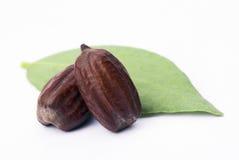 Foglie e semi del jojoba (Simmondsia chinensis) Fotografia Stock