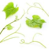 Foglie e viticci dell'uva isolati su bianco. Raccolta Fotografia Stock Libera da Diritti