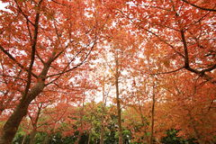 Foglie ed alberi di rosso Fotografia Stock