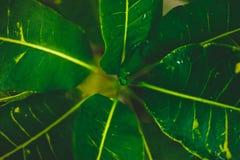 Foglie esotiche verdi della pianta Fotografia Stock