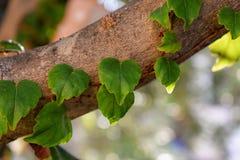 Foglie a forma di cuore verde all'albero fotografia stock libera da diritti