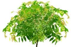 Foglie fresche del curry o pianta indiana dell'erba di patta del curry Fotografia Stock Libera da Diritti