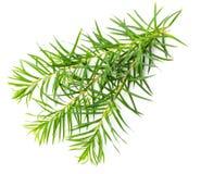 Foglie fresche dell'albero del tè isolate su bianco immagine stock