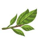 Foglie fresche della baia dell'alloro sul ramo Pianta organica dell'alimento sano Immagine Stock Libera da Diritti