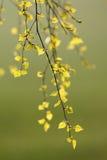 Foglie fresche della betulla in primavera Fotografie Stock