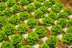 Foglie fresche della lattuga, fine su , Pianta dell'insalata della lattuga di Butterhead, Immagini Stock