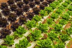 Foglie fresche della lattuga, fine su , Pianta dell'insalata della lattuga di Butterhead, Fotografie Stock Libere da Diritti
