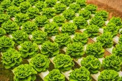 Foglie fresche della lattuga, fine su , Pianta dell'insalata della lattuga di Butterhead, Fotografia Stock