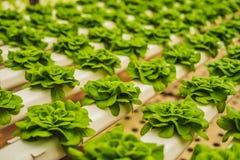Foglie fresche della lattuga, fine su , Pianta dell'insalata della lattuga di Butterhead, Immagine Stock Libera da Diritti