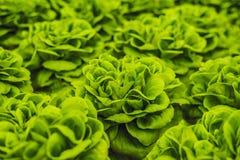 Foglie fresche della lattuga, fine su , Pianta dell'insalata della lattuga di Butterhead, Fotografie Stock