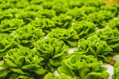 Foglie fresche della lattuga, fine su , Pianta dell'insalata della lattuga di Butterhead, Fotografia Stock Libera da Diritti