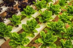 Foglie fresche della lattuga, fine su , Pianta dell'insalata della lattuga di Butterhead, Immagine Stock