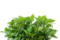 Foglie fresche della pianta del basilico Fotografie Stock Libere da Diritti