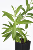 Foglie fresche della pianta della verbena del limone Immagini Stock