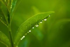 Foglie fresche e verdi con le gocce di acqua immagini stock libere da diritti