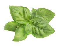 Foglie fresche verdi semplici del basilico isolate su fondo bianco Immagini Stock