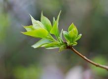 Foglie germoglianti dell'albero Immagine Stock Libera da Diritti