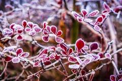 Foglie ghiacciate di rosso Fotografia Stock