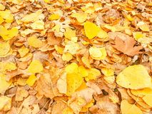 Foglie giallastre delle latifoglie su un paesaggio di autunno fotografia stock