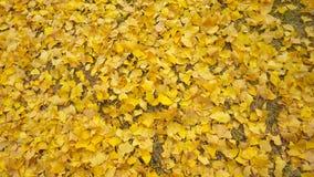 Foglie gialle del ginkgo di autunno Fotografia Stock Libera da Diritti