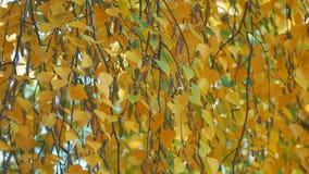 Foglie gialle della betulla di autunno video d archivio