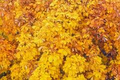 Foglie gialle della castagna di autunno fotografia stock
