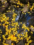 Foglie gialle della tremula che galleggiano sull'acqua fotografie stock