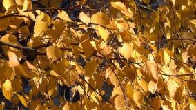 Foglie gialle di autunno sui rami stock footage