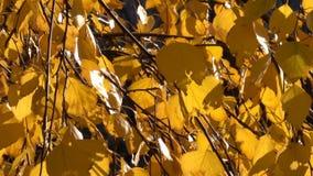 Foglie gialle di autunno sui rami video d archivio