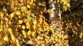 Foglie gialle di autunno sui rami archivi video