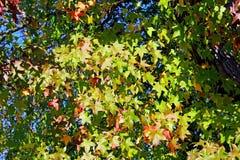 Foglie gialle e rosse degli alberi di acero, valle del pino, California Fotografia Stock Libera da Diritti