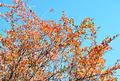 Foglie gialle ed arancio sul fondo del cielo blu dell'albero Immagine Stock